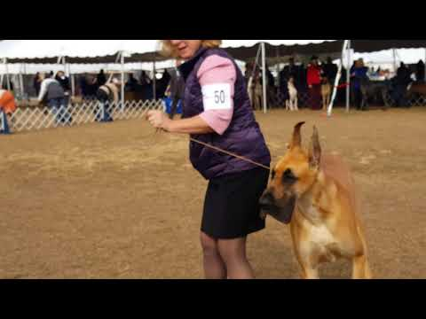 1/19/18 Best of Breed Brooksville FL Great Dane dog show