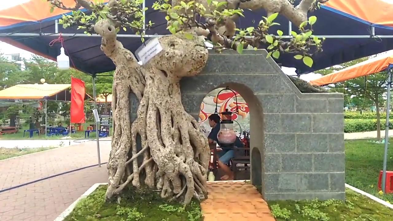 Quá đẳng cấp cây si cổng thành – Cay Canh Binh Dinh