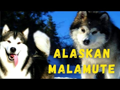 Dog Facts and Information  Alaskan Malamute