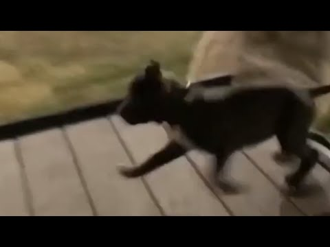 Puppy's platform jump results in major fail