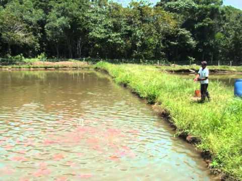 Cultivo de tilapia vermella youtube for Densidad de siembra de tilapia