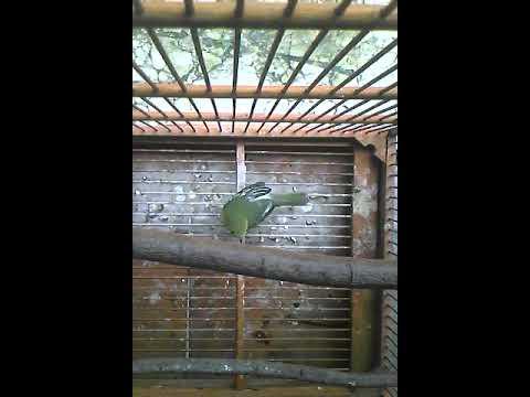 burung sirtu gacor, isian  (ngawi punya)