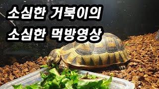 소심한 거북이의 소심한 먹방 영상, 앵귤라타 육지거북(…