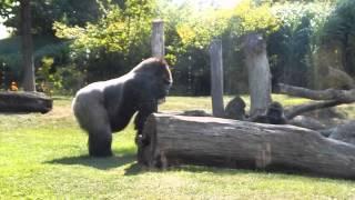Toledo Zoo Gorilla don't start up with me