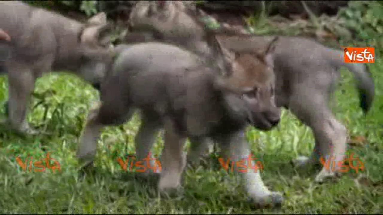 Avete mai visto dei cuccioli di lupo uscire dalla tana per la prima