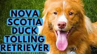 Nova Scotia Duck Tolling Retriever Dog Breed  Duck Tollers