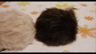 Star Trek: Pingos\Tribbles