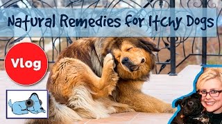 How Cure Dogs Itchy Skin Natural Reme Itchy Dogs Cure Skin Irritation