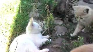 Котики и кошечки ( полукровки) отдадим. Липецкая область, ЧАплыгин - Липецк.