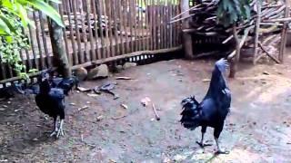 Rooster / Chicken Ayam Cimani Chicken