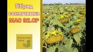Подсолнечник Мас 92.СР  🌻, описание гибрида 🌻 - семена в Украине