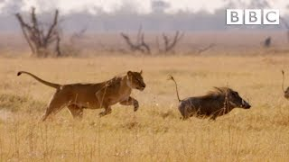 Video Hungry lion chases warthog - Natural World: Africa's Giant Killers: Preview - BBC Two download MP3, 3GP, MP4, WEBM, AVI, FLV Juni 2018