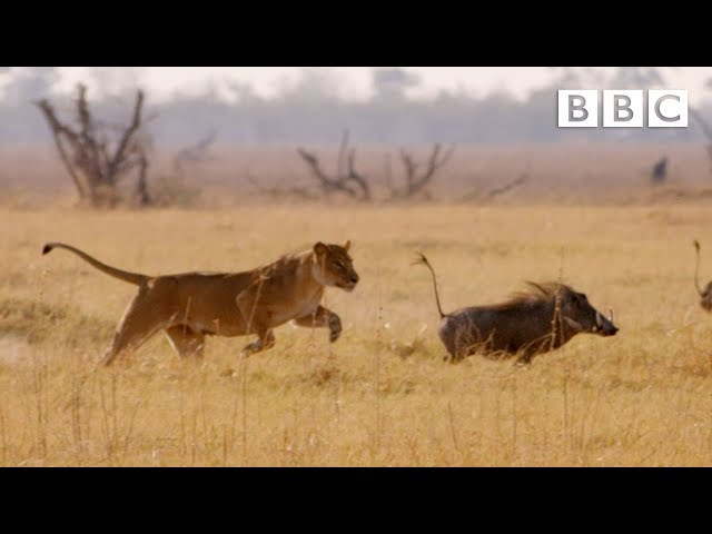 Hungry lion chases warthog – Natural World: Africa's Giant Killers: Preview – BBC Two