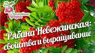 Рябина Невежинская: полезные свойства рябины и условия выращивания #urozhainye_gryadki