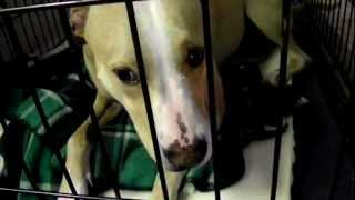Pit Bull Mix Chico Dog Aggression Issues Dogtra E Collar Pager Before Training