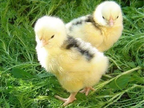 Расклев у цыплят и как я с ним боролась