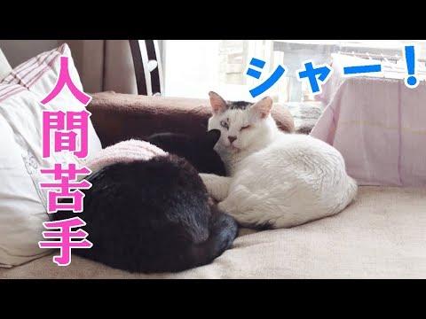 約7年野良猫だった猫を保護したらシャーばかり【福ちゃんの家猫修行記録~半年編】
