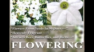 WHITE FRAGRANT NICOTIANA Flower Seeds - FLOWERING - Nicotiana alata  FLOWER SEEDS on  www.MySeeds.Co