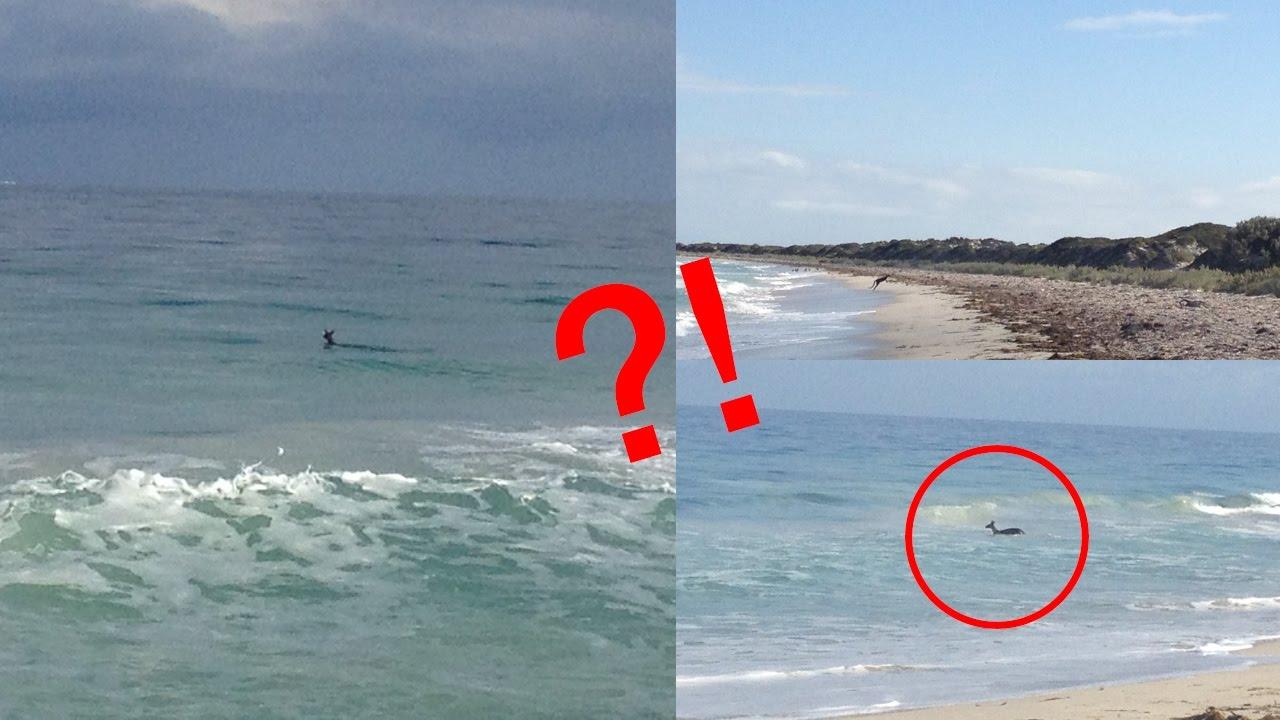 Kangaroo Swimming At The Beach You