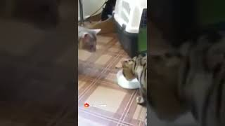 The very best and funniest CAT moments Drinking mild - Funny cat compilation