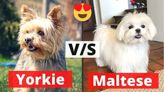Yorkie v/s Maltese: Which Breed would be Best for you?