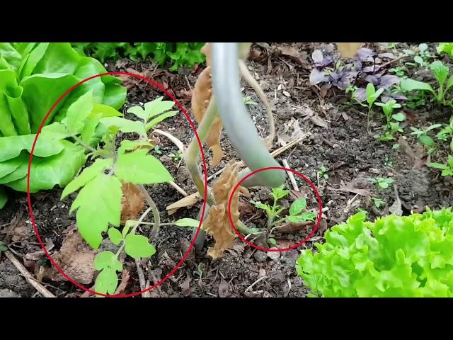 Fazit - Frostschaden an Tomate und Paprika [Teil 3]