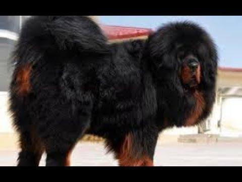 Tibetian Mastiff Himalayan gaurd dog!!!