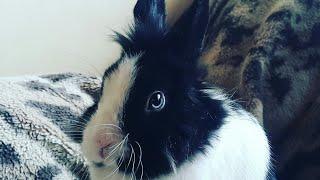 Декоративный карликовый кролик. Уход, содержание и чем отличается от зайца.