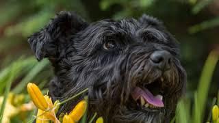 Cairn Terrier  Dog Breed  Pet Friend