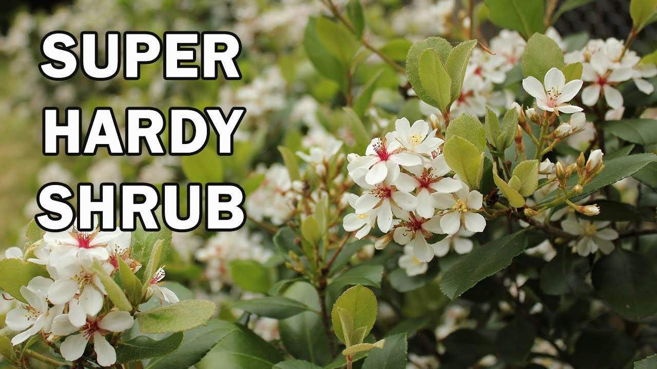 Cosmic White Raphiolepis Is A Shrub With Clean Foliage And Bigger