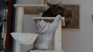 Драка на высоте: персидские кошки (Маней и Мингсик)