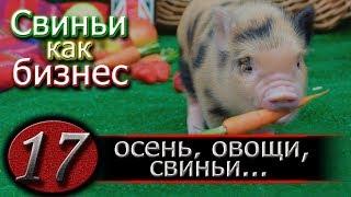 видео: КОРМЛЕНИЕ СВИНЕЙ КАРТОШКОЙ