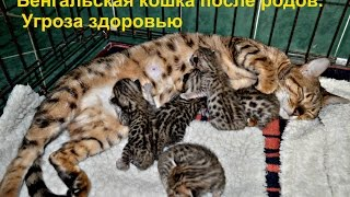 😻Бенгальская кошка после родов. Угроза здоровью. Часть 1.