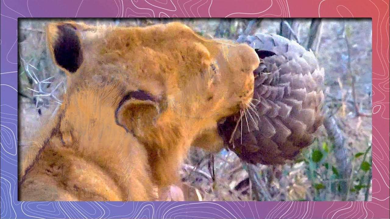 Download Sharp Teeth VS Sharp Scales - A Pangolin Defends Itself Against a Lion's Jaws