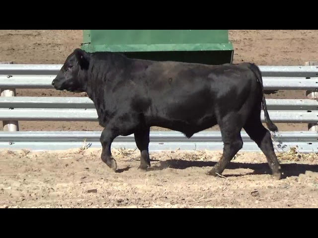 Connealy Angus Lot 119