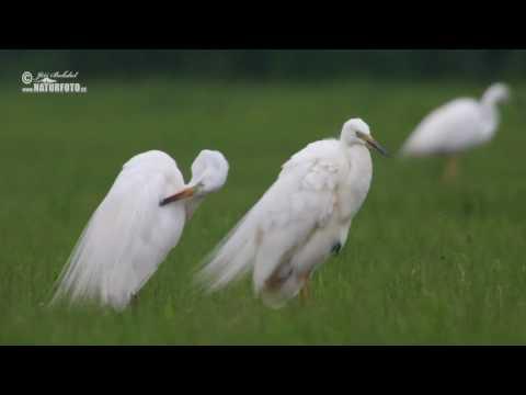 Volavka bílá (Casmerodius albus)