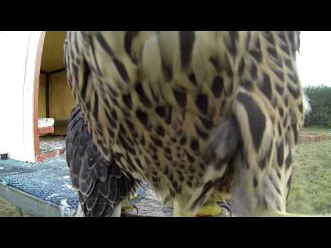 Hack Peregrines day 8+