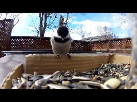 Black-Capped Chickadees at feeder (Drift HD Ghost)