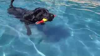 Black Labrador Retriever Mix Bear Swims The Whole Swimming Pool By Herself - Took 3 Sessions!