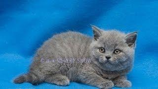 британский котенок Xanthosan от 25 06 13.