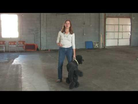 dog-training-:-how-to-train-a-guard-dog