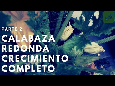CALABAZA: Siembra Crecimiento y Cuidado Parte 2 - YouTube