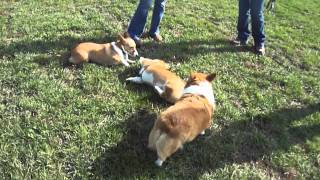 Corgis Run And Play