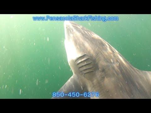 BIG SHARKS   Pensacola Fl