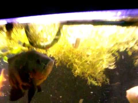 Oscar fish eating homemade fish food youtube for Oscar fish food