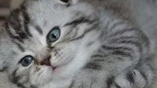прикольные шотландские вислоухие котята  стерлитамак