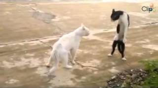 2 con mèo đánh nhau thế võ lạ mắt mpg