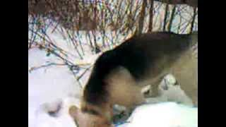 Собака ныряет в снег (см. до конца)(, 2013-11-22T09:06:23.000Z)