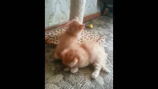 Шотландские котята хайленд-фолд