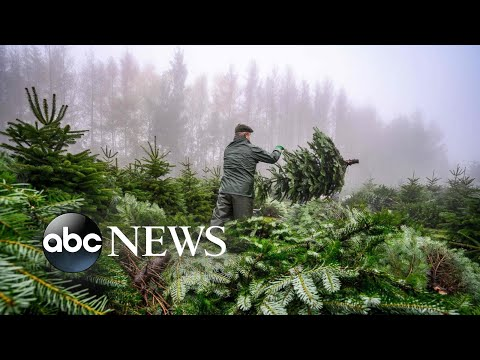 A Christmas tree farm, Greta Thunberg, Gadhimai Festival: World in Photos, Dec. 3 | ABC News